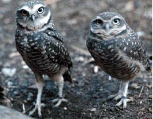 two Owls, not Spotted Owls, but the *do* have spots!